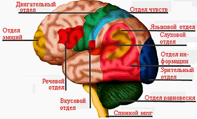 Как работает наш мозг и как улучшить его работу